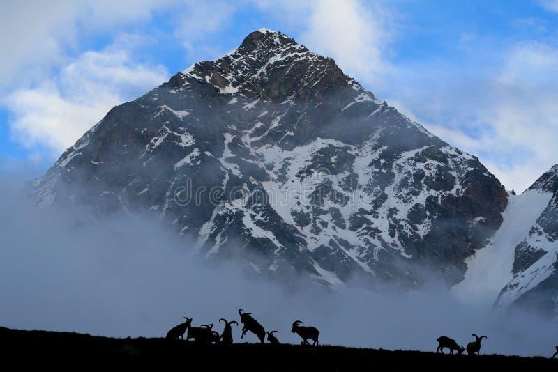 Mountain Goat Free Stock Photo