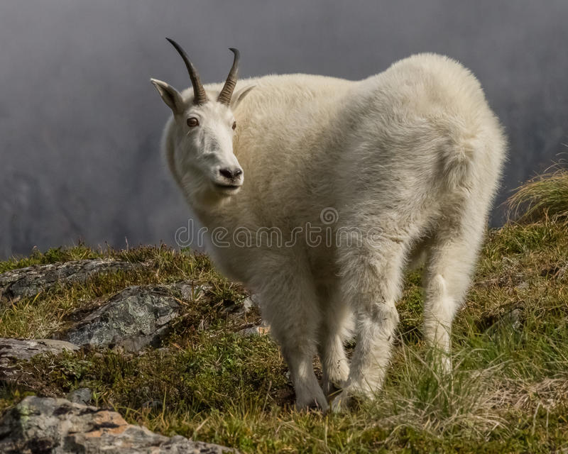 Mountain goat in Alaska royalty free stock images