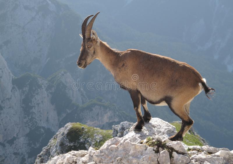 Mountain goat - Alpine Ibex. In Julian Alps royalty free stock photo