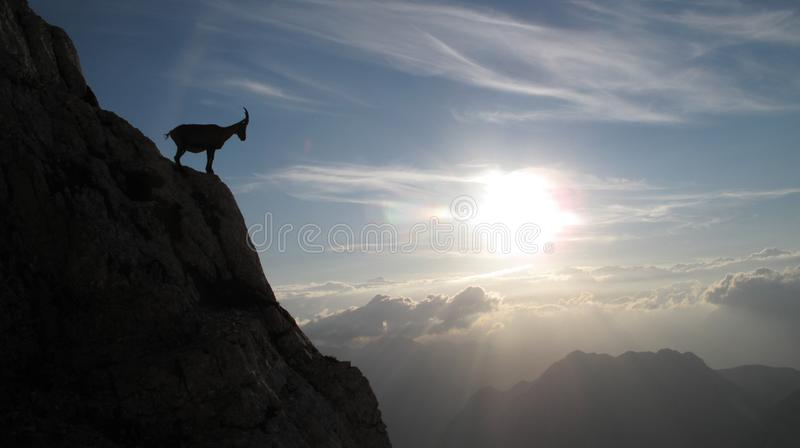 Mountain goat - Alpine Ibex. In Julian Alps by sunset stock images
