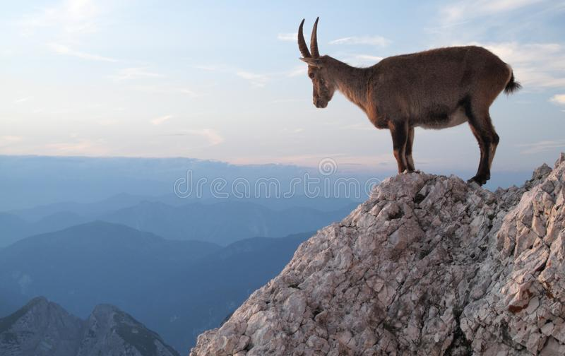 Mountain goat - Alpine Ibex royalty free stock images