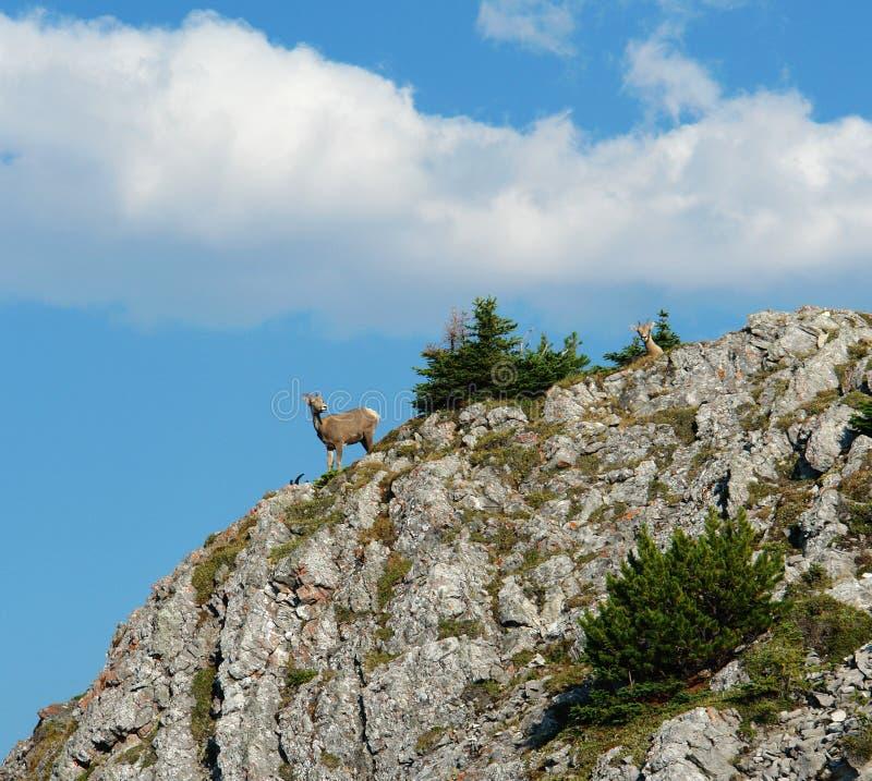 Mountain goat on cliff royalty free stock photo