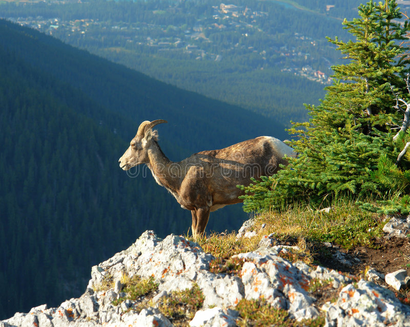 Mountain goat on cliff. Mountain goat climbing on the cliff of sulphur mountain, banff national park, alberta, canada stock image