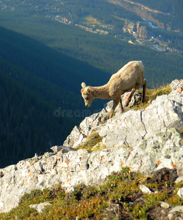 Mountain goat on cliff stock photo