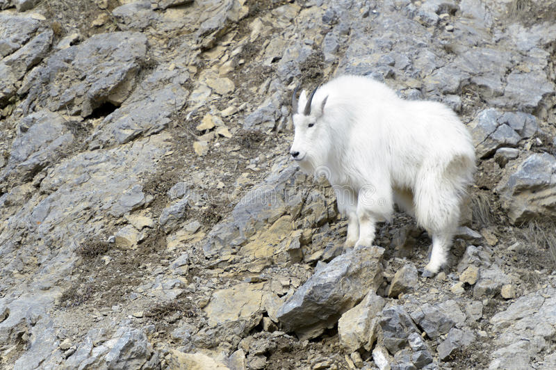 Mountain Goat on cliff. Mountain Goat (Oreamnos americanus) standing on the cliffs at the Snake river canyon, Wyoming, USA stock photography
