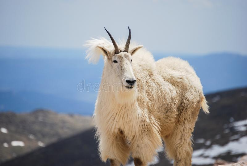 Mountain goat in Colorado`s Rocky Mountains, United States. stock images
