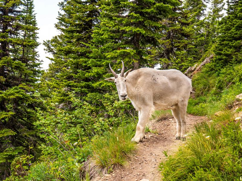 The Mountain Goat Decides to Take Her Game off the Trail royalty free stock photos