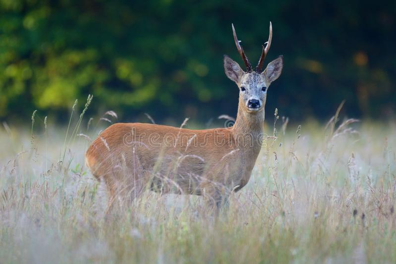 Roe deer in a natuural environment. royalty free stock photography
