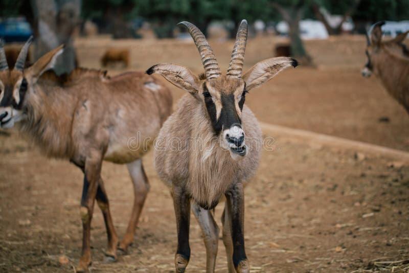 Mountain goat in Fasano apulia safari zoo Italy. Mountain goat nature, wildlife, animal, rock mammal wild isolated royalty free stock image