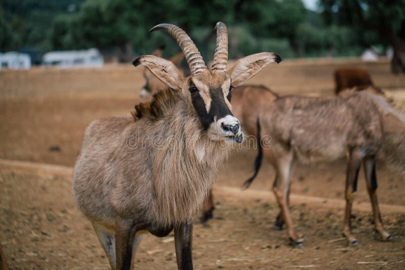 Mountain goat in Fasano apulia safari zoo Italy. Mountain goat nature, wildlife, animal, rock mammal wild isolated royalty free stock photography