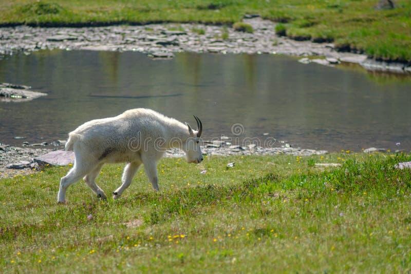 Mountain Goat in Glacier National Park stock photos