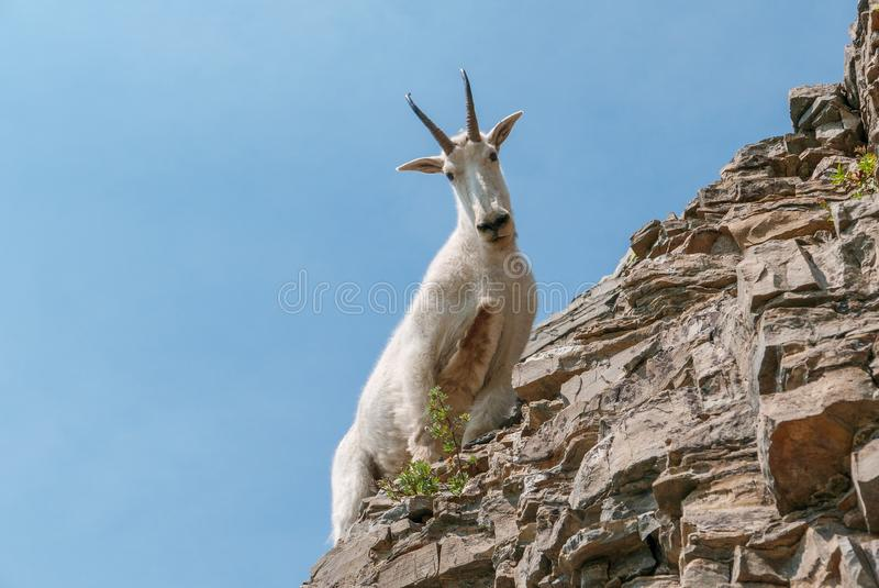 Mountain Goat in Glacier National Park royalty free stock photo