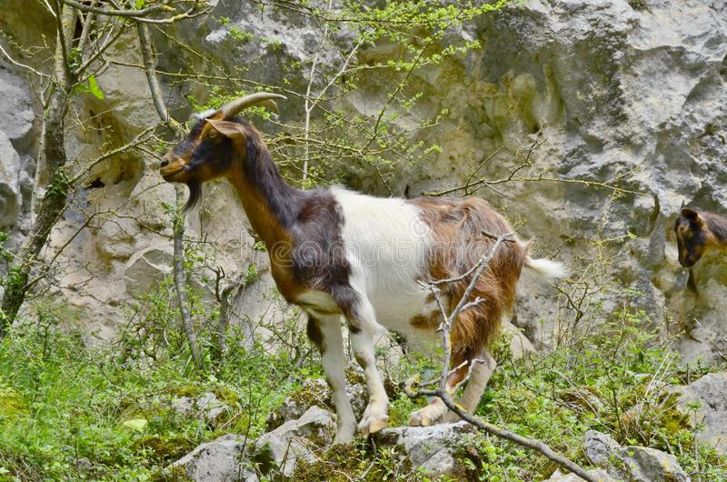Mountain goat. The Iberian ibex is one of the bovine species of the genus Capra that exist in Europe. The other species of the genus are the alpine ibex or goat stock photos