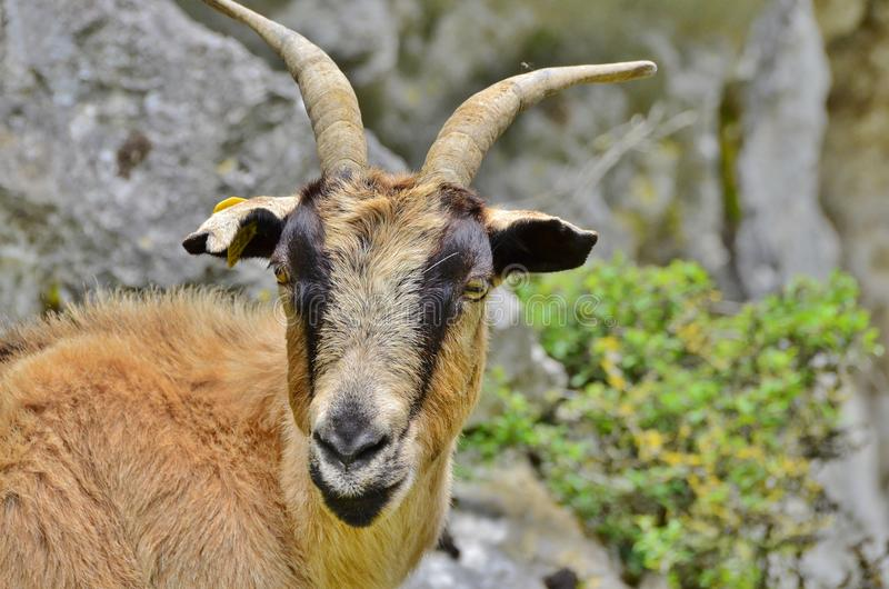 Mountain goat. The Iberian ibex is one of the bovine species of the genus Capra that exist in Europe. The other species of the genus are the alpine ibex or goat royalty free stock photography