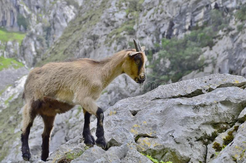 Mountain goat. The Iberian ibex is one of the bovine species of the genus Capra that exist in Europe. The other species of the genus are the alpine ibex or goat stock image