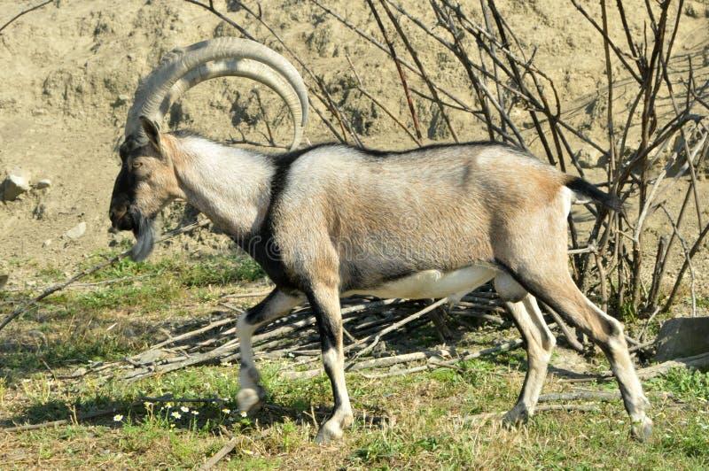Mountain goat Kri-Kri royalty free stock image