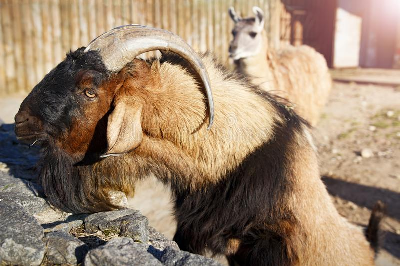 Mountain goat and llama in the zoo. Animals in the city zoo. royalty free stock photos