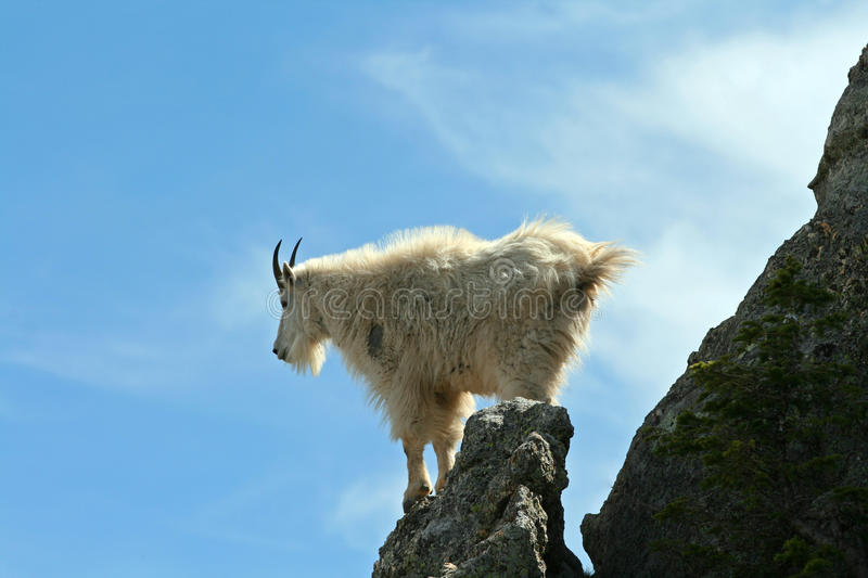 Mountain Goat looking back over Harney Peak Spire. In Custer State Park in the Black Hills of South Dakota USA royalty free stock images