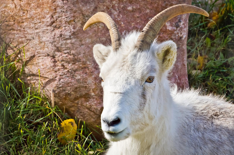 Mountain Goat Looking Forward. While resting on grass amongst the rock boulders stock image