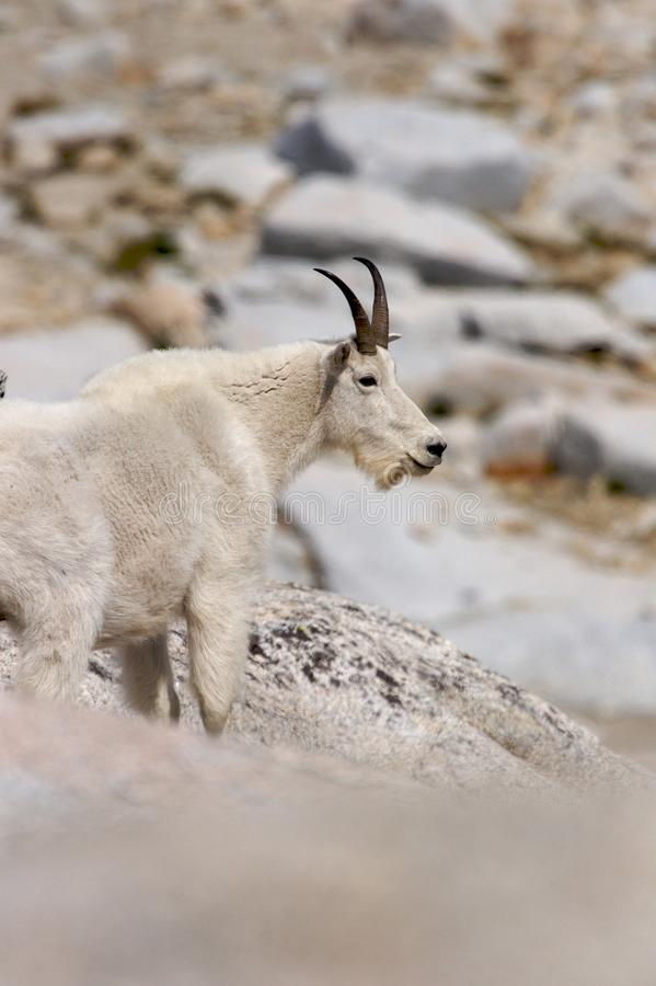 Mountain Goat looking onward. A mountain goat looking onward in the Cascades of Washington royalty free stock images