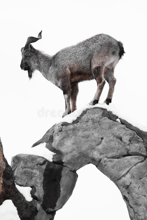 Mountain goat Markhor stands on the rocks on a white snowy background, silhouette of a clever animal royalty free stock photos