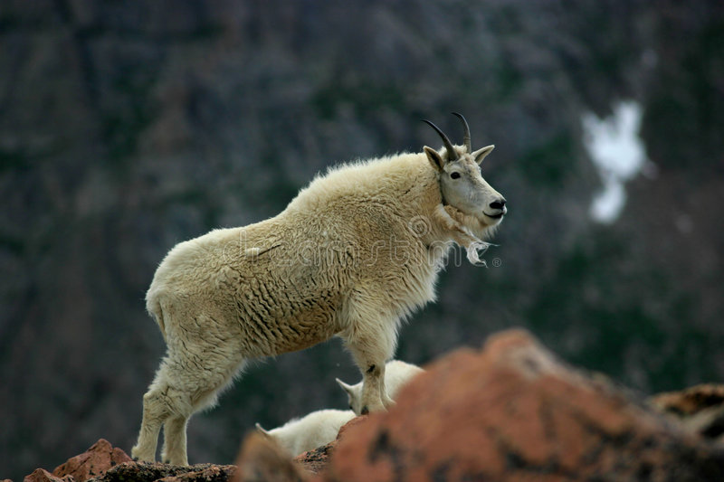 Mountain goat mt. evans 3 royalty free stock photography