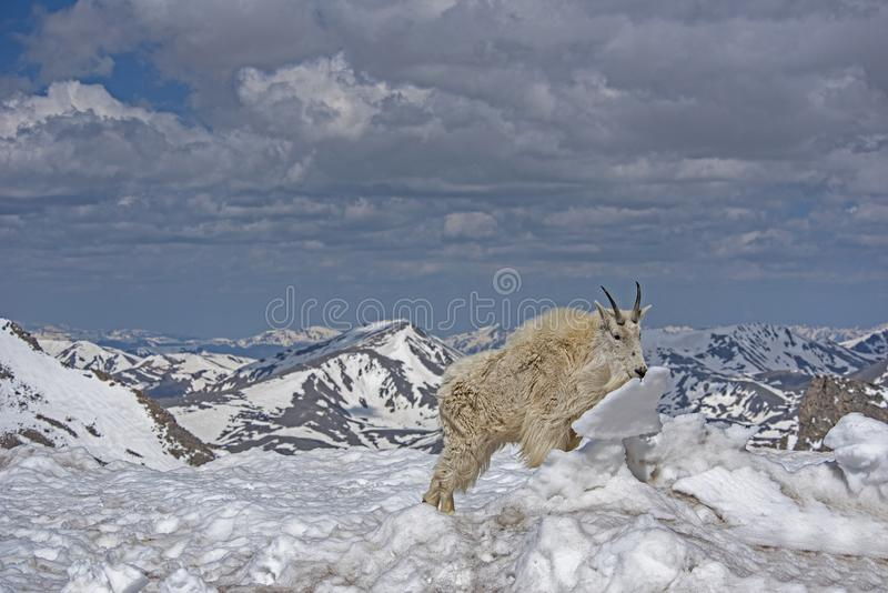 Mountain Goat in an ice covered field on Mt. Evans, Colorado. royalty free stock photos