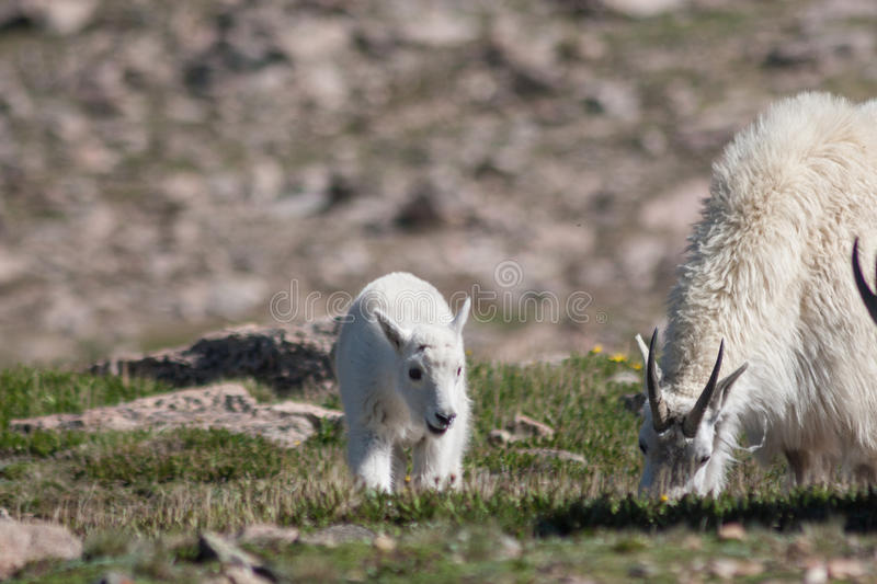 Mountain Goat Nanny and Kid stock photography