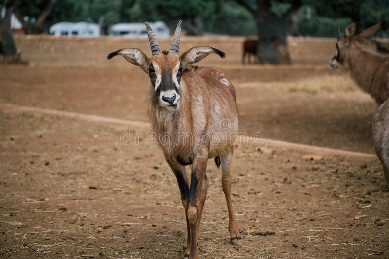 Mountain goat in Fasano apulia safari zoo Italy. Mountain goat nature, wildlife, animal, rock mammal wild stock photos