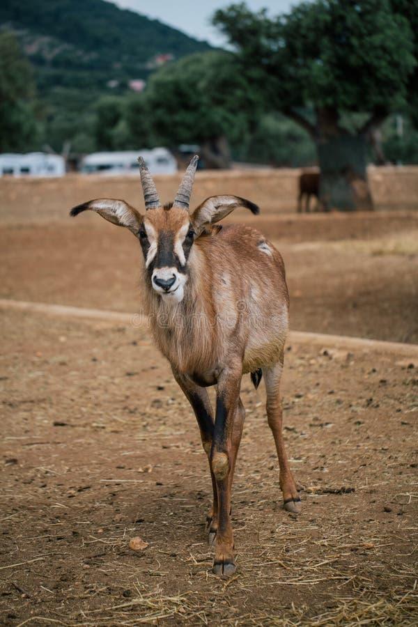 Mountain goat in Fasano apulia safari zoo Italy. Mountain goat nature, wildlife, animal, rock mammal wild royalty free stock photo