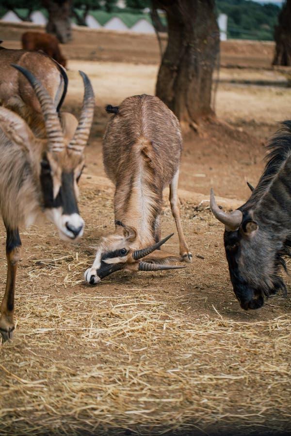 Mountain goat in Fasano apulia safari zoo Italy. Mountain goat nature, wildlife, animal, rock mammal wild royalty free stock image