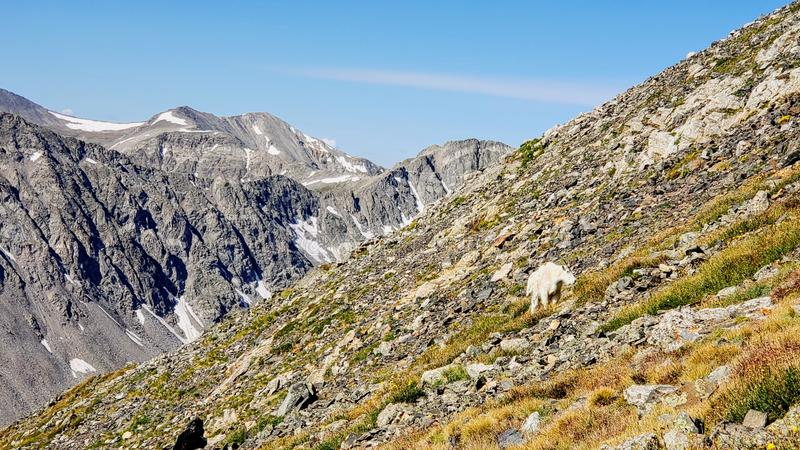 Mountain Goat with North Star mountain in background. Hiking, trail, colorado, , , , dirt, range, blue, , breckenridge, quandary stock images