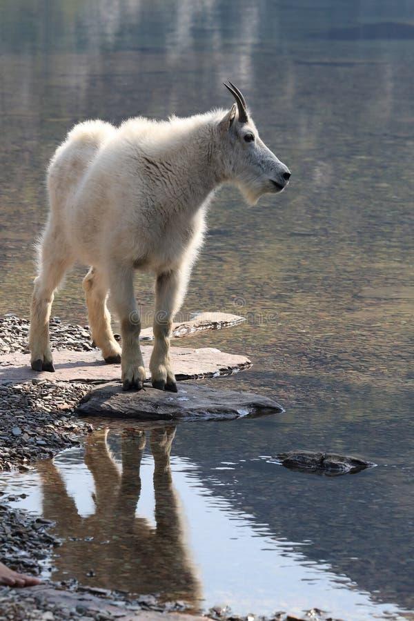 Mountain Goat Oreamnos Americanus Glacier National Park Montana EUA fotografia de stock