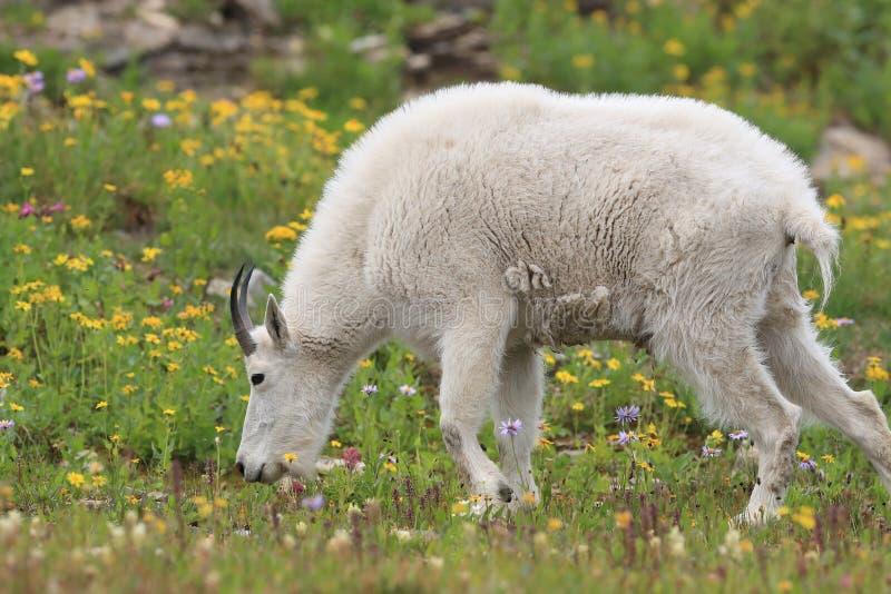 Mountain Goat Oreamnos Americanus Glacier National Park Montana EUA imagem de stock