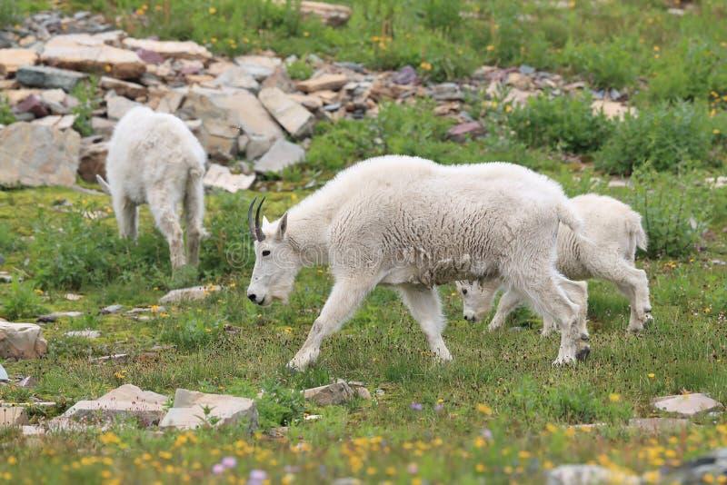 Mountain Goat Oreamnos Americanus Glacier National Park Montana EUA fotos de stock royalty free