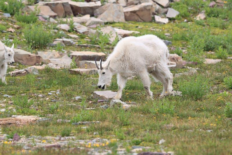 Mountain Goat Oreamnos Americanus Glacier National Park Montana EUA fotos de stock