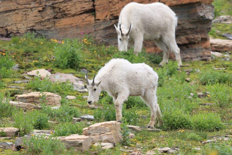 Mountain Goat Oreamnos Americanus Glacier National Park Montana EUA fotografia de stock royalty free