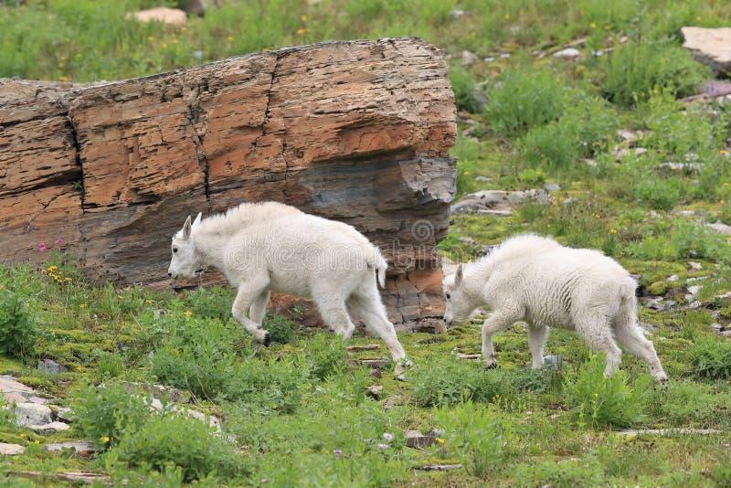 Mountain Goat Oreamnos Americanus Glacier National Park Montana EUA imagens de stock royalty free