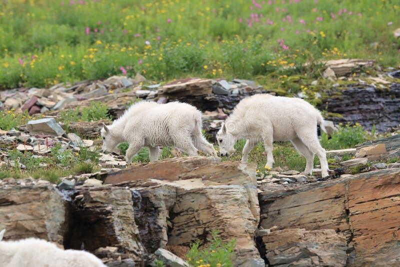 Mountain Goat Oreamnos Americanus Glacier National Park Montana EUA foto de stock