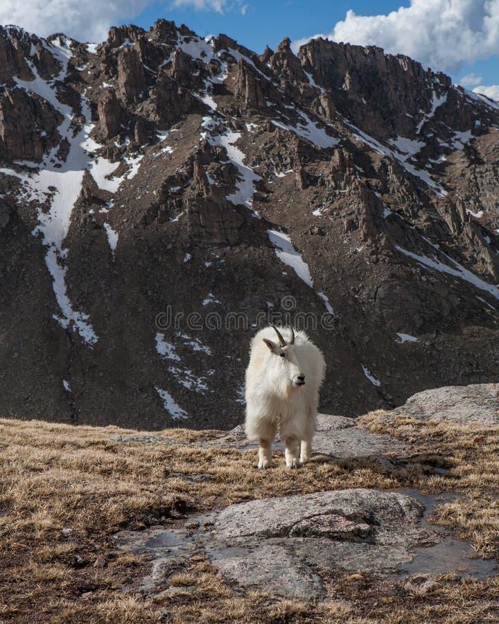 Mountain Goat posing stock image