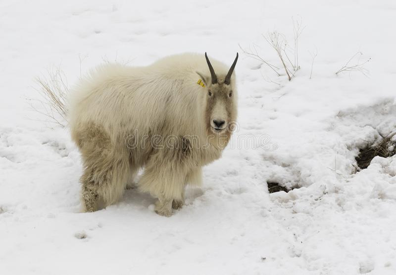 MOUNTAIN GOAT IN SNOW, DIRTY STOCK IMAGE stock photography