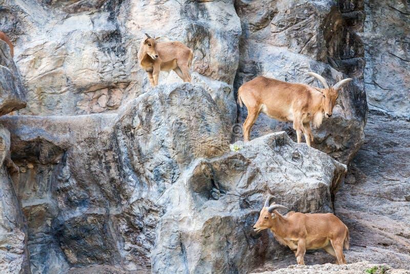 The Mountain goat. Three mountain goats walking on the sides of the rocks royalty free stock photos