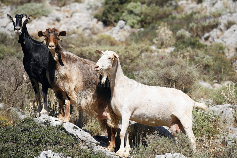 Mountain goats royalty free stock images