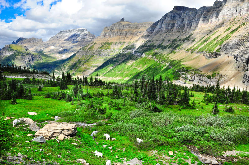 Mountain Goats. Grazing at Glacier National Park with mountains in background royalty free stock photo