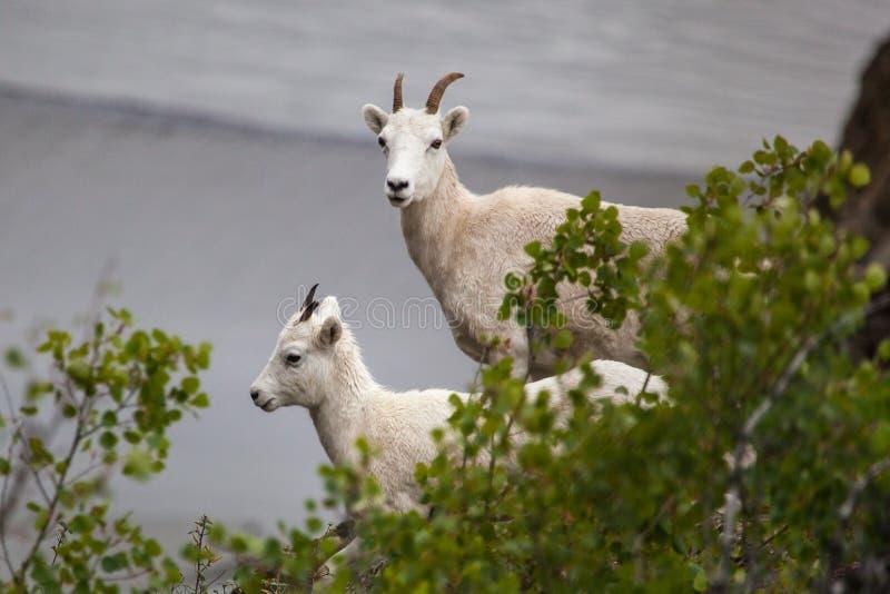 Mountain goats along Seward highway, Alaska stock photo