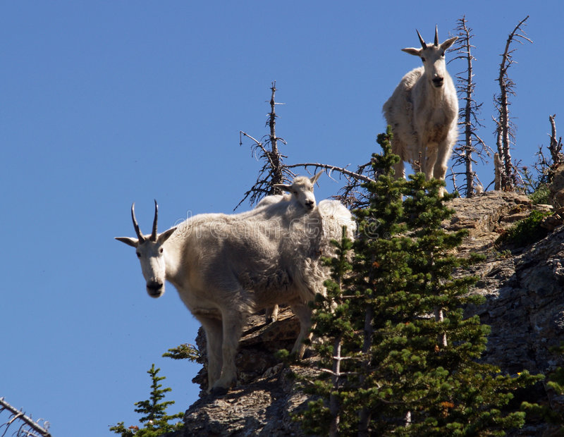 Mountain Goats Checking Me Out