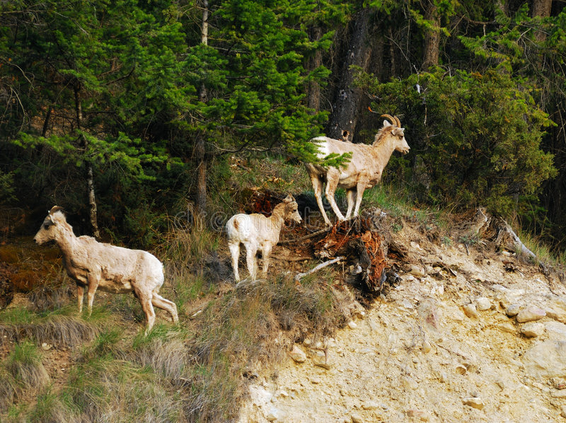 Mountain goats on cliff. Mountain goats climbing on cliff at radium hot springs, british columbia, canada royalty free stock photo