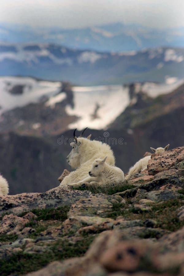 Mountain goats mt Evans 1 royalty free stock photos