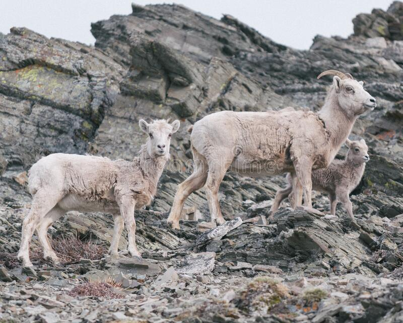 Mountain Goats On Rocky Slope Free Public Domain Cc0 Image