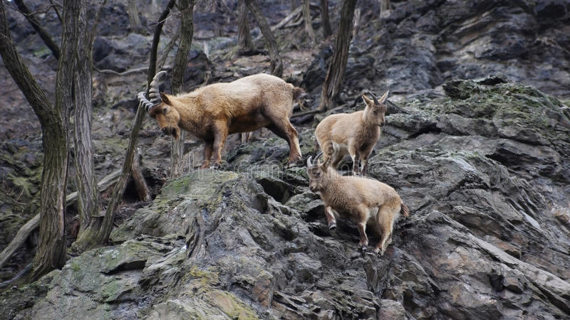 Mountain goats at the zoo stock photo